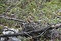 Killarney Granite Ridge Trail Chipmunk.jpg