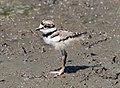 Killdeer chick on Sherwood Island (72080).jpg