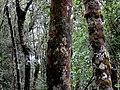 Kinabalu Park, Ranau, Sabah, Malaysia - panoramio (17).jpg