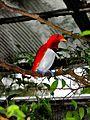 King Bird-of paradise Cicinnurus regius (7116209683).jpg