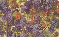 Kittitas Valley WA - Grapes from the Kittitas Valley (NBY 432077).jpg