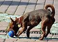 Kleiner Hund mit einem Ball.JPG