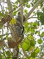 Koala Bär bear Australien (23114076672).jpg
