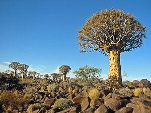 Köcherbaum (Aloe dichotoma)