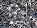 Korina 2011-01-01 Heracleum mantegazzianum 4.jpg
