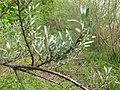 Korina 2011-04-26 Hippophae rhamnoides.jpg