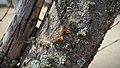 Líquenes cortícolas.jpg