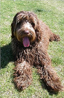 Labradoodle Brown.jpg