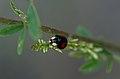 Ladybird (35748768010).jpg