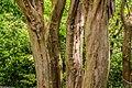 Lagerstroemia indica in Eastwoodhill Arboretum (4).jpg