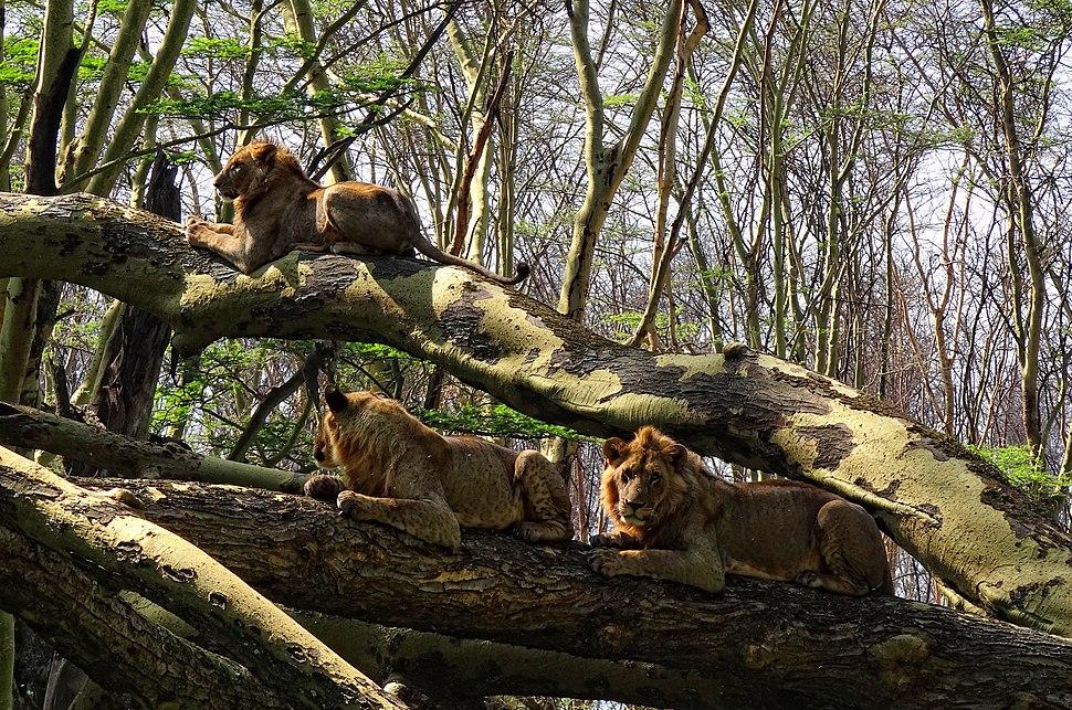 Lake-Nakuru-Lions-in-Tree