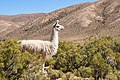Lama in the Andes.jpg