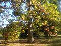 Lamiales - Fraxinus latifolia 1.jpg