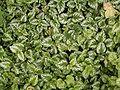 Lamium galeobdolon (argentatum) 01 ies.jpg
