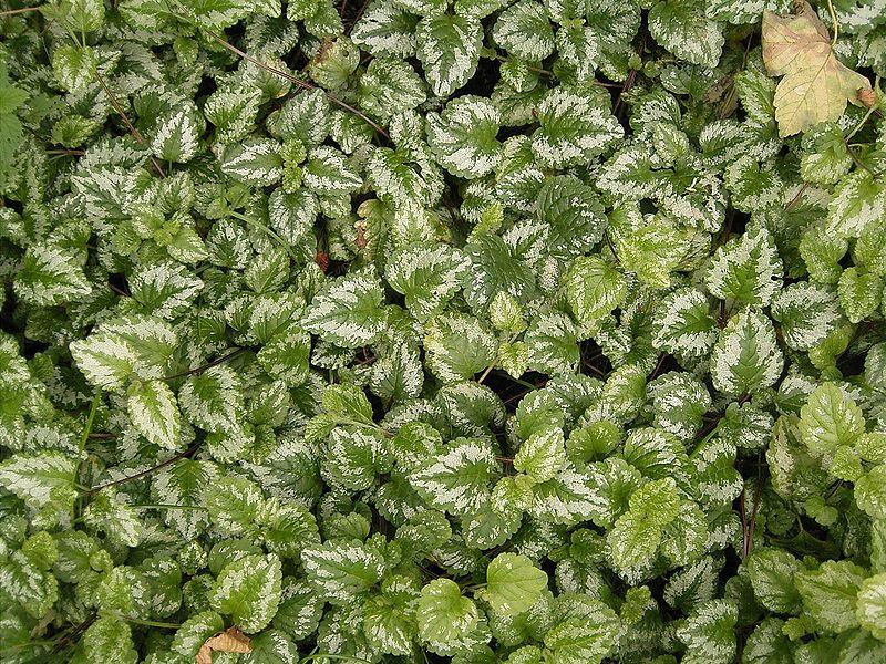 File:Lamium galeobdolon (argentatum) 01 ies.jpg
