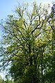 Landschaftsschutzgebiet Gütersloh - Isselhorst - Baum beim Wasserwerk (1).jpg