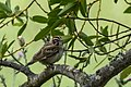 Lark Sparrow (17171936030).jpg