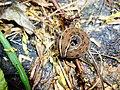 Larva in Sanjay Van 04.jpg