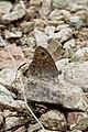 Lasiommata maera (Nymphalidae) (33172101376).jpg