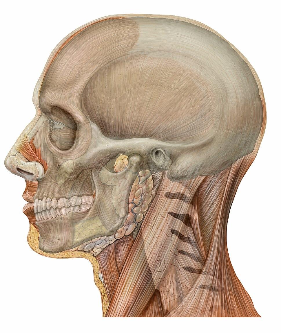 Lateral head skull