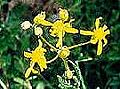 Laynes butterweed.jpg