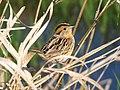 LeContes Sparrow (6218052270).jpg