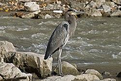 Le Grand Heron Profil.jpg