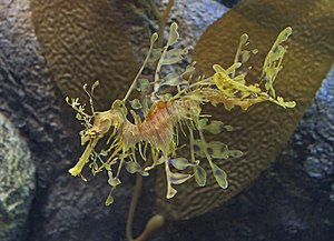 Leafy seadragon - Leafy seadragon at the Monterey Bay Aquarium
