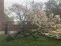 Leaning, Blooming Tree In Providence, Rhode Island.jpg