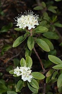 <i>Rhododendron columbianum</i> Species of shrub