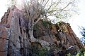Leeuwfontein, Tree growing in rocks - panoramio.jpg