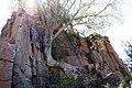 Leeuwfontein, Tree growing in rocks - panoramio.jpg