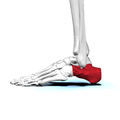 Left Calcaneus01 lateral view.png