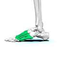 Left Metatarsal bones02 lateral view.png