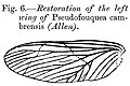 Left wing of the Pseudofouquea cambrensis.jpg