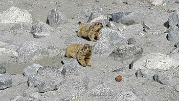 Lemur in Leh ladakh 8.jpg