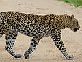 Leopard (Panthera pardus) crossing the road (12907067215).jpg