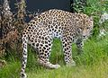 Leopard (persian) (15098079852).jpg