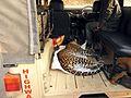 Leopard roadkill DSCN9135 v1.JPG
