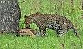 Leopard with kill (Panthera pardus) (5984422103).jpg