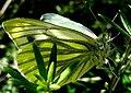 Lepidoptera. Galiza.jpg