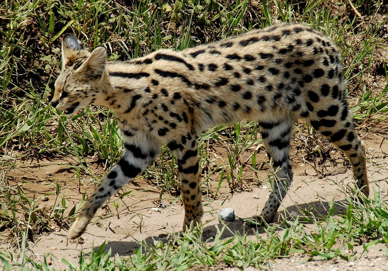 File leptailurus serval serengeti national park tanzania - Chat type leopard ...