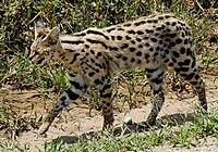 Leptailurus serval -Serengeti National Park, Tanzania-8