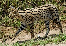 Serval i Serengeti nationalpark.