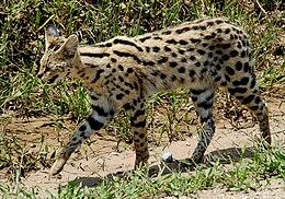 Leptailurus serval -Serengeti National Park, Tanzania-8.jpg