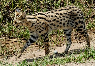 Serval - A serval in Serengeti National Park, Tanzania
