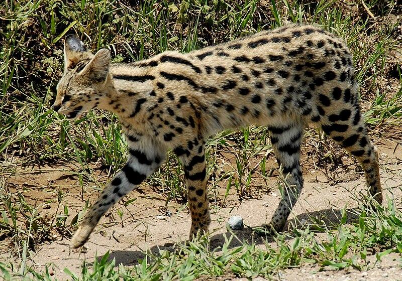 File:Leptailurus serval -Serengeti National Park, Tanzania-8.jpg