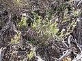 Leptodactylon pungens (4394638717).jpg