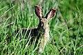 Lepus coreanus.jpg