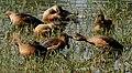 Lesser Whistling-duck (Dendrocygna javanica) grooming & preening W IMG 8444.jpg